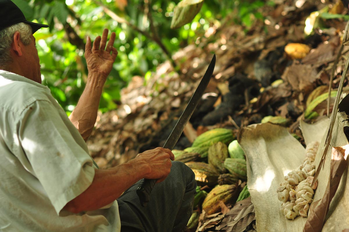 Point de vue d'un producteur de cacao